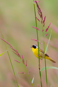 Common Yellowthroat a singin'!