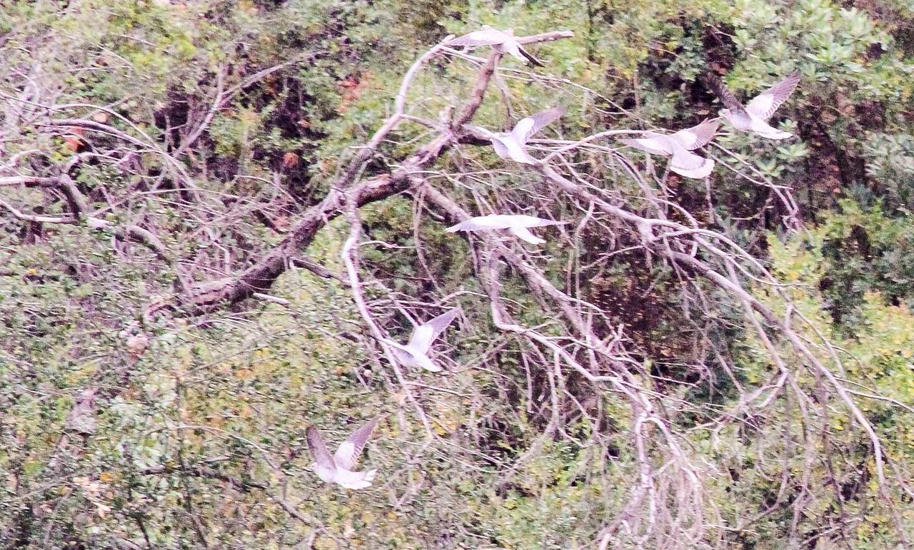 Band-tailed Pigeon - Tucker Wildlife Sanctuary