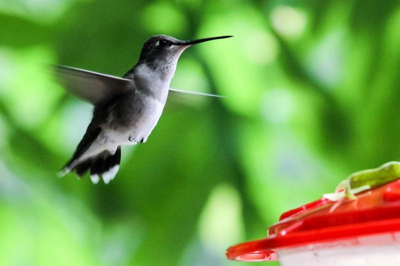 Anna's Hummingbird - Mile Square