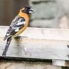 Black-headed Grosbeak - Tucker Wildlife Sanctuary