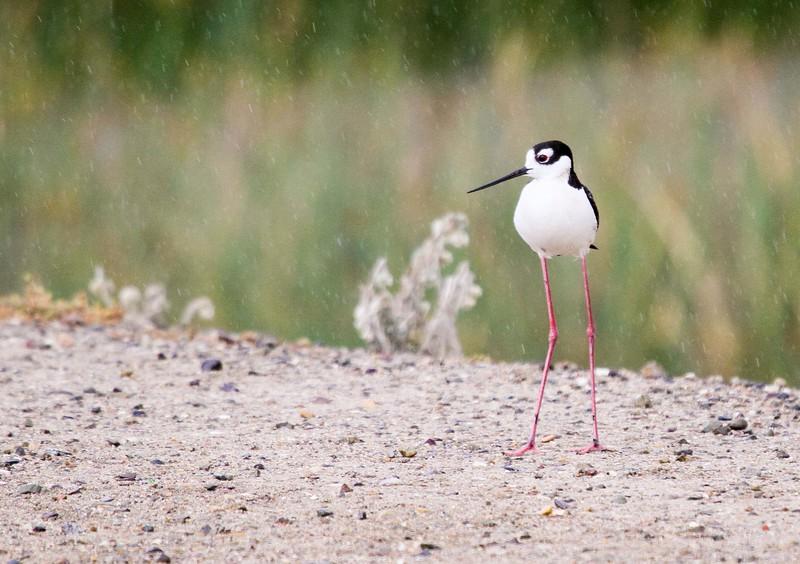 Black-necked Stilt - San Joaquin Wildlife Sanctuary