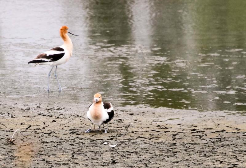 American Avocet - San Joaquin Wildlife Sanctuary