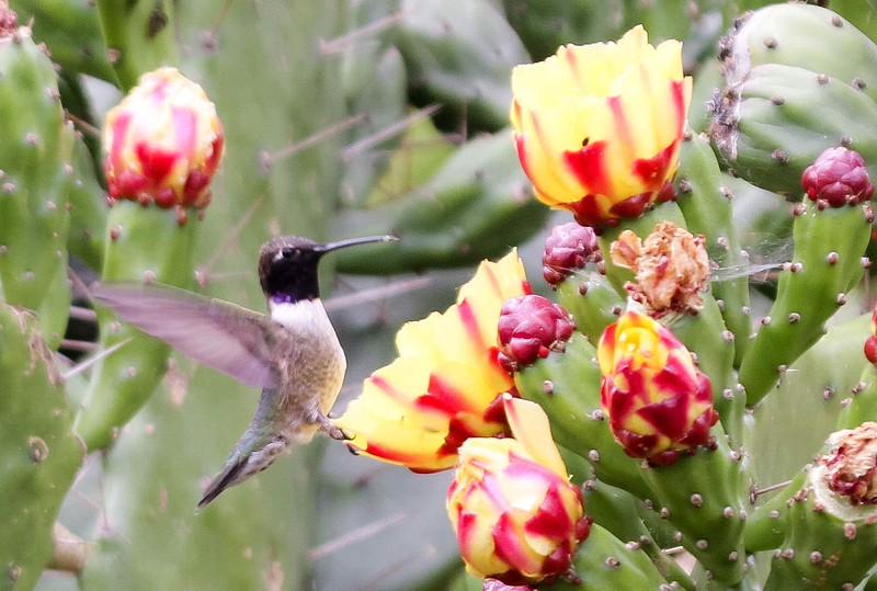 Black-chinned Hummingbird - Mile Square