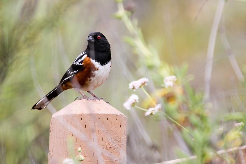 Spotted Towhee - San Joaquin Wildlife Sanctuary