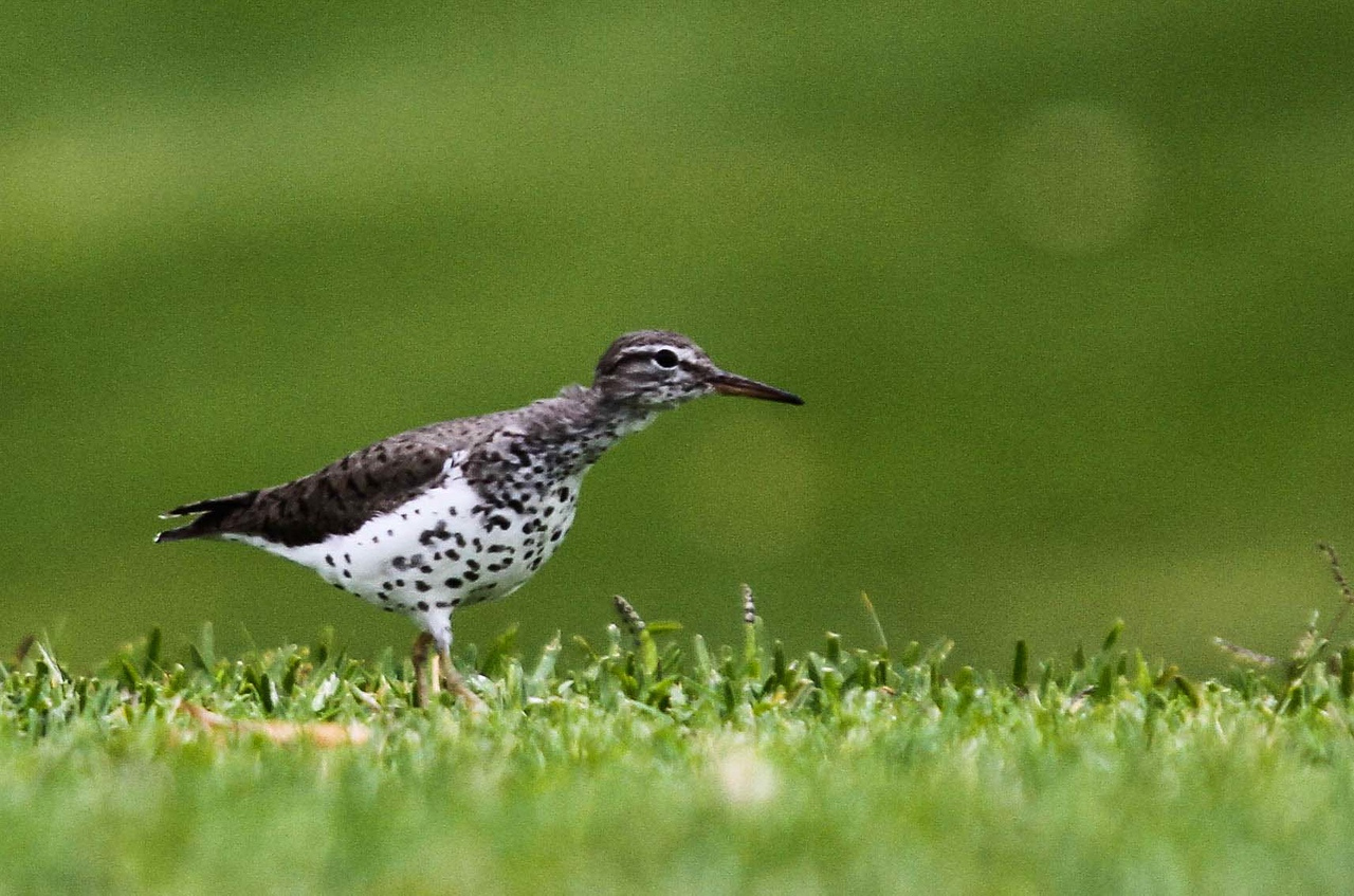Spotted Sandpiper - Mile Square Regional Park, Fountain Valley, CA