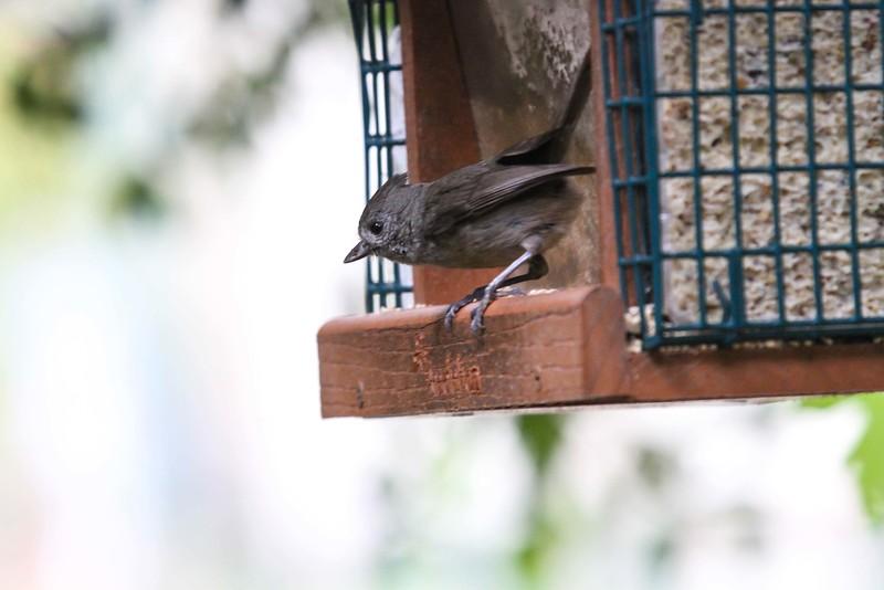 Oak Titmouse - Tucker Wildlife Sanctuary