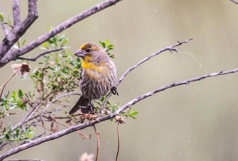House Finch - San Joaquin Wildlife Sanctuary