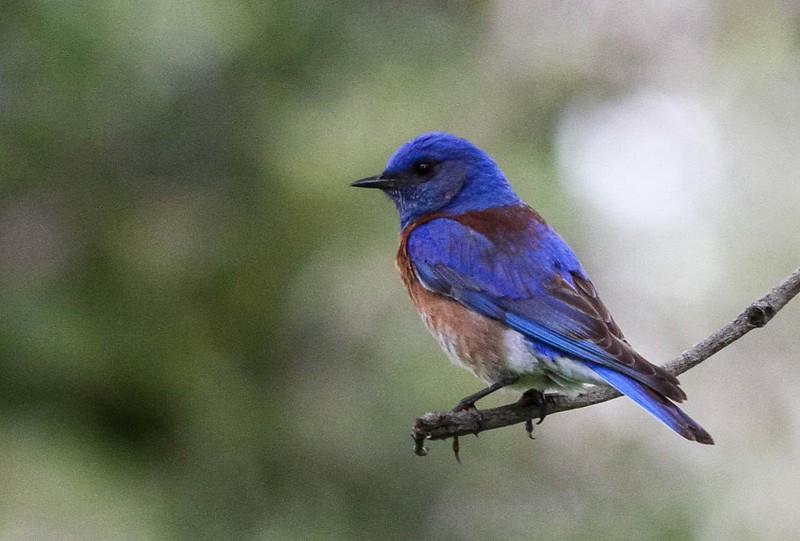 Western Bluebird - Mile Square Regional Park