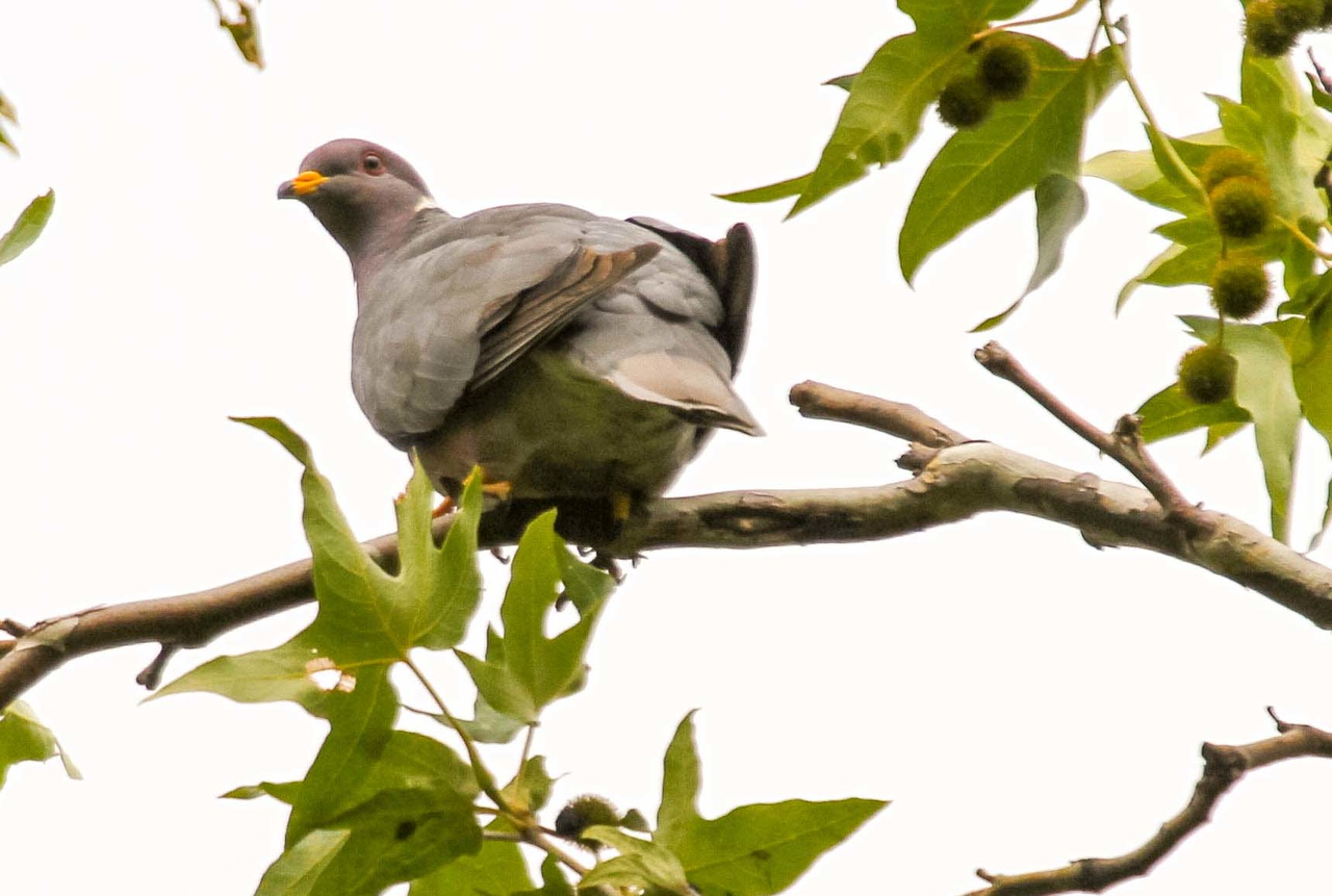Band-tailed Pigeon - Tucker Wildlife Sanctuary