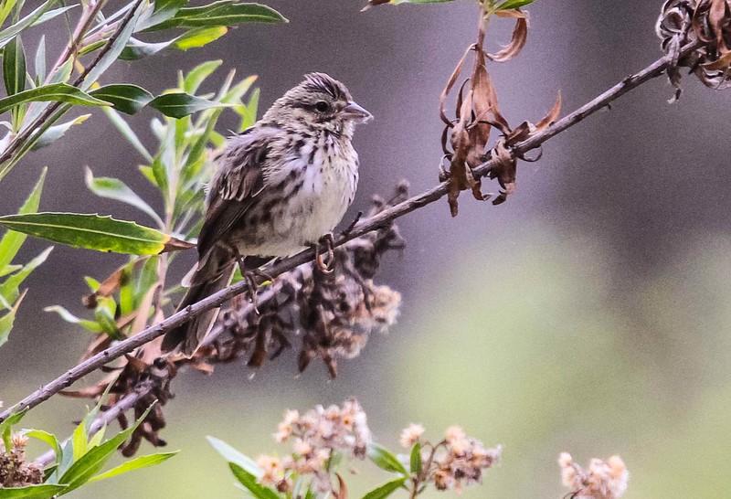 Song Sparrow - Serrano Creek Park, CA