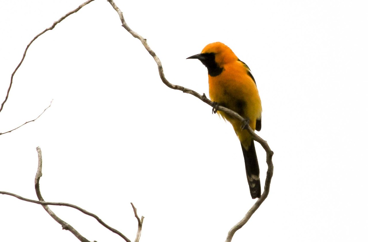 Hooded Oriole - Serrano Creek Park