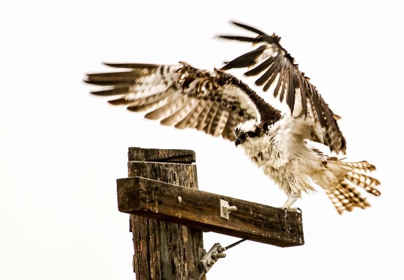 Osprey - San Joaquin Wildlife Sanctuary