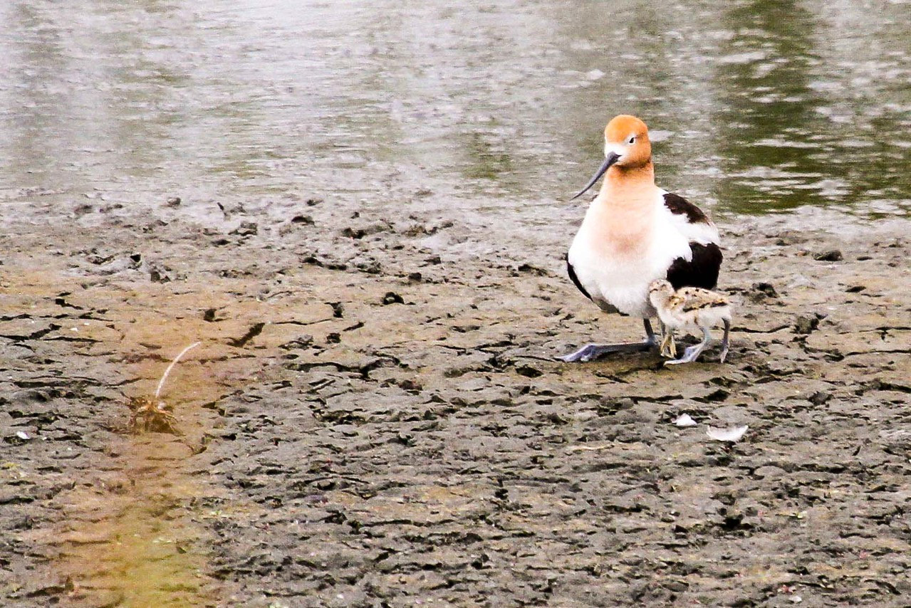 American Avocet - San Joaquin Wildlife Sanctuary