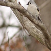 Tufted Titmouse <br /> Bridgeton, MO <br /> 2005-03-27<br /> <br /> No. 22 on my Lifetime List of Birds <br /> Photographed in Missouri