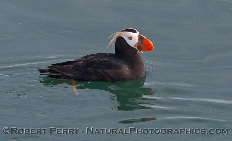 A Tufted Puffin (Fratercula cirrhata) rests on the glassy ocean surface.