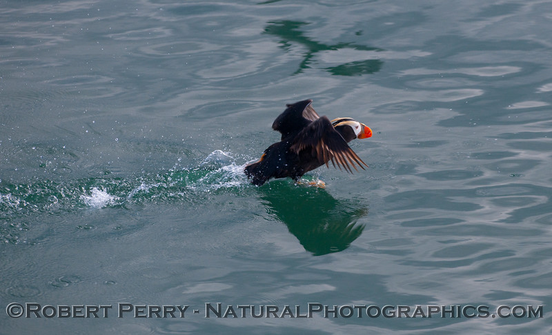 A Tufted Puffin (Fratercula cirrhata) takes off.
