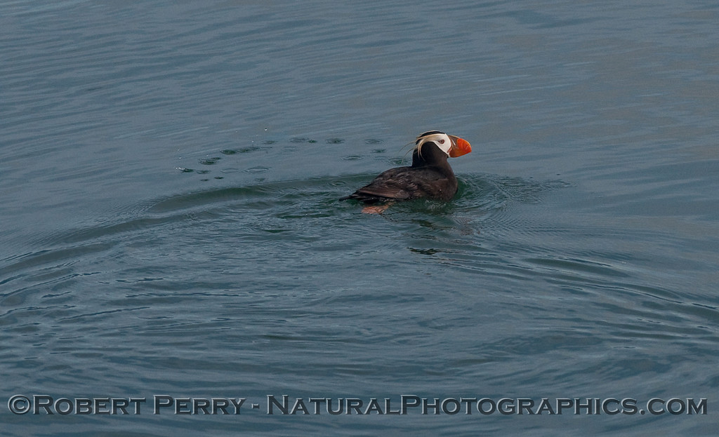 A Tufted Puffin (Fratercula cirrhata) swims on a glassy ocean surface.