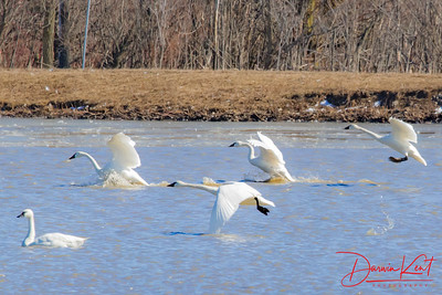 Tundra Swans at AWMA