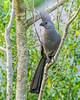Gray Go Away Bird