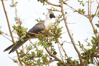 Bare-faced Go-away-bird - Tarangire National Park, Tanzania