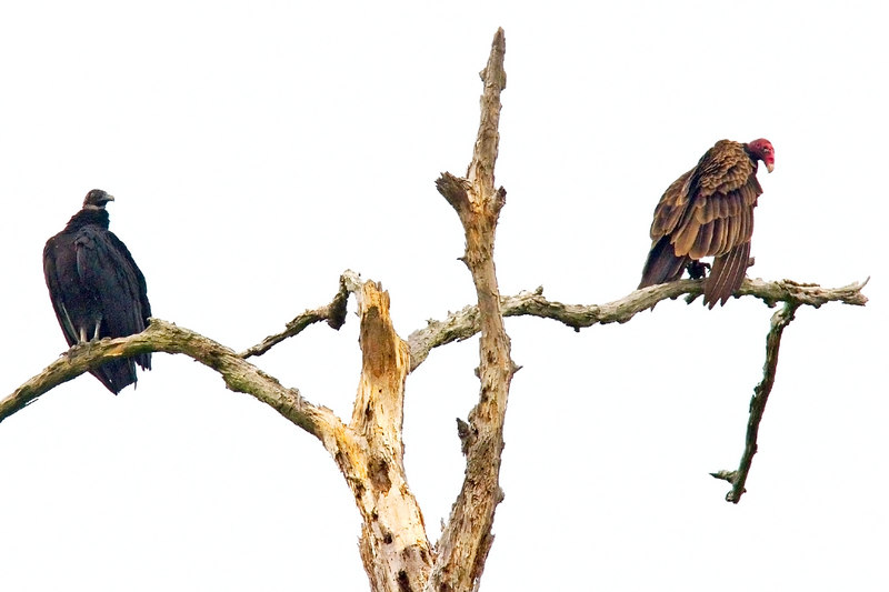 Vultures, Juvenile and Adult