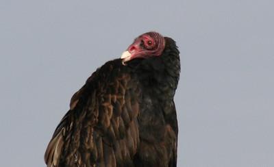 Turkey Vulture Slideshow