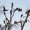 Turkey Vultures - counted 23 in this photo