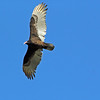 """The most elegant Turkey Vulture you will ever see!   """"God's cleanup crew!"""""""