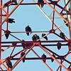 Turkey Vultures on the cell phone tower<br /> Vidalia, Georgia