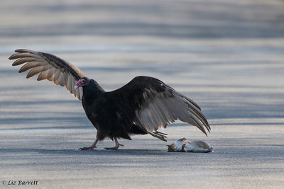 0U2A4555_Turkey Vulture