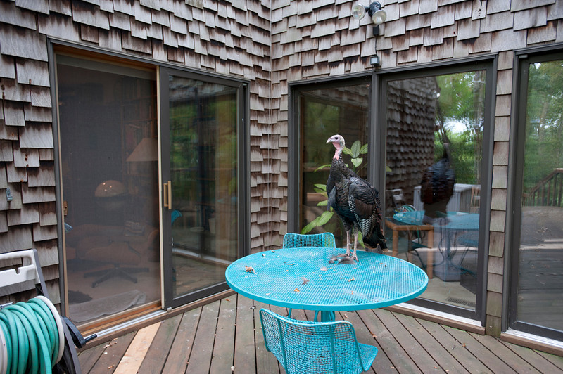 North America, Minnesota, Mendota Heights, Wild Turket