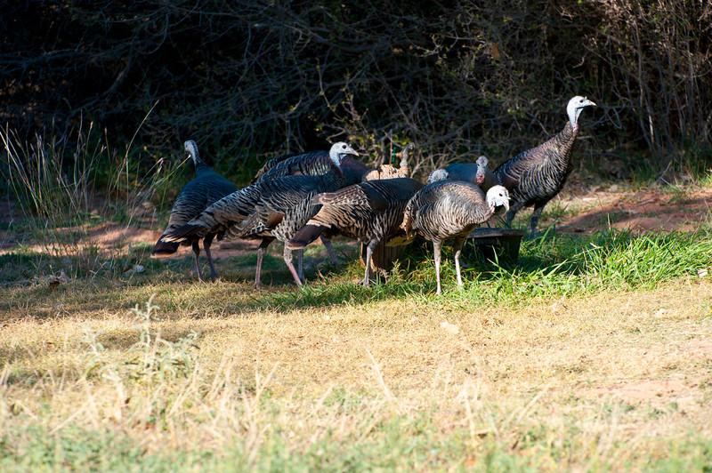 North America, USA, Palo Duro  Canyon, Canyon, Texas , Wild Turkey