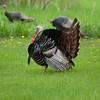 North America, USA, Minnesota, Mendota Heights, Wild Tom Turkey