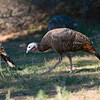 North America, USA, Palo Duro  Canyon, Canyon, Texas , Wild Turkey
