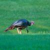North America, USA, Minnesota, Mendota Heights, Wild Turkey, poults