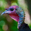 North America, USA, Minnesota, Mendota Heights, Backyard Wild Tom Turkey