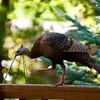 North America, USA, Minnesota, Mendota Heights, Backyard Wild Tom Turkey