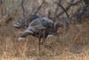 Wild Turkey (2564)