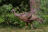 Wild Turkey (b2566)