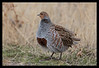 Gray Partridge (Hun)