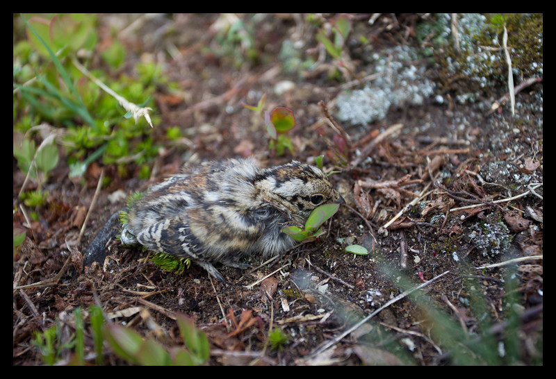 White-tailed Ptarmigan Chick