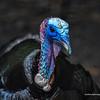 Tom Turkey 0224