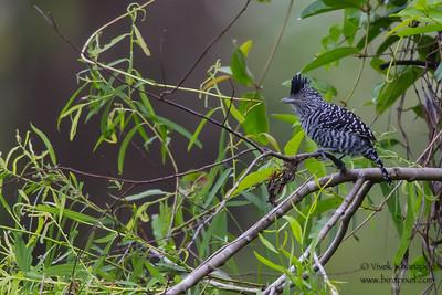 Barred Antshrike - Tambo Blanquillo Clay Lick, Manu Biosphere Preserve, Peru