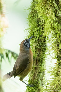 Checker-throated Antwren - Record - El Valle, Panama
