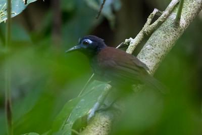 Chestnut-backed Antbird - Record - Osa, Costa Rica
