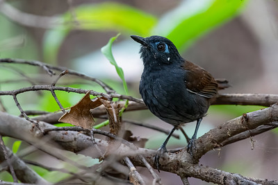 Chestnut-backed Antbird - Heredia, Costa Rica