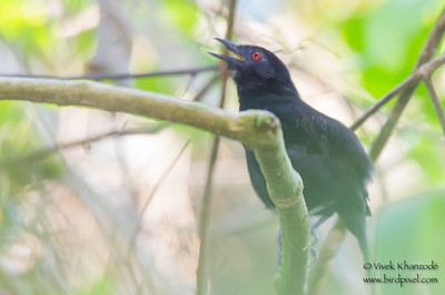 Goeldi's Antbird - Record - Amazonia Lodge, Manu Biosphere Preserve, Peru
