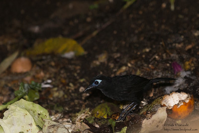 Immaculate Antbird - Record - Tandayapa Lodge, Ecuador