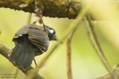 Sooty Antbird - Record - Amazon, Ecuador