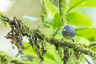 Spot-crowned Antvireo - El Valle, Panama